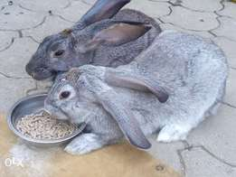 Hybrid rabbits for sale. Crossbreed between Ear lop and Carlifornian
