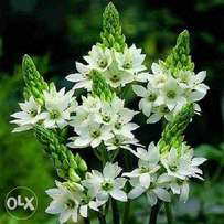 Ornithogalum Thyroides (Ornis) Flowers