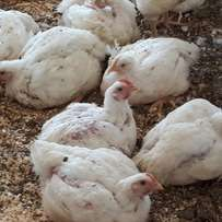 Large Broilers- in all quantities available