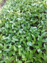 Sweet Yellow passion seedlings