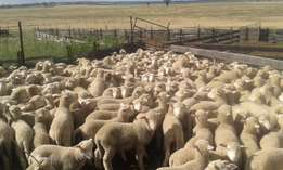 65 Young Merino sheep for sale Male & Female available