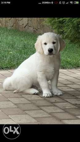 Imported snow white retriever puppies with pedigree