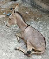 Trained Donkey for sale