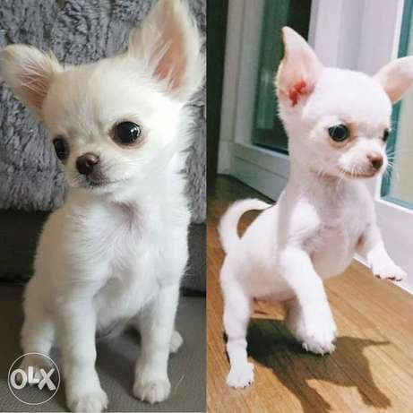The Smallest Breed Chihuahua
