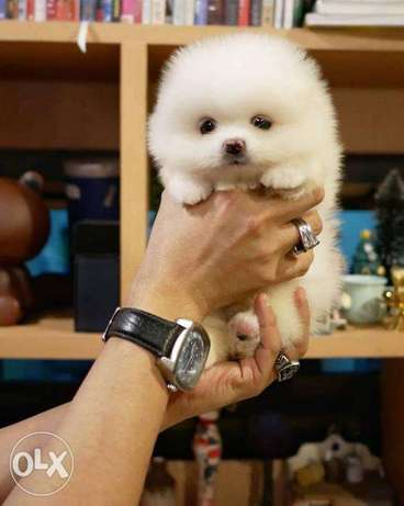 Darla - Pomeranian puppy for sale
