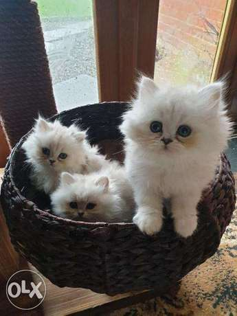 Beautiful Chinchilla Persian Kittens.
