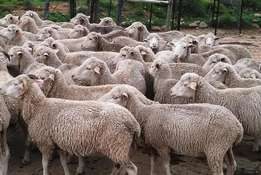 Dorper and Merino Rams and Ewes Available For Sale
