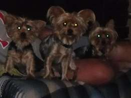 Male Yorkie pups
