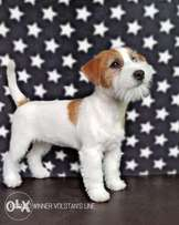 Availabile NOW TOP Imported Jack Russell Long Hair puppies
