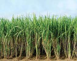 chemelil offers 2200 acres of prime land on sale with cane on it