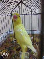 A beautiful yellow semi tamed ringneck for sale with cage