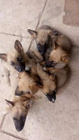 Mixed Breed German Shepherd Puppies Athi River Township - image 4