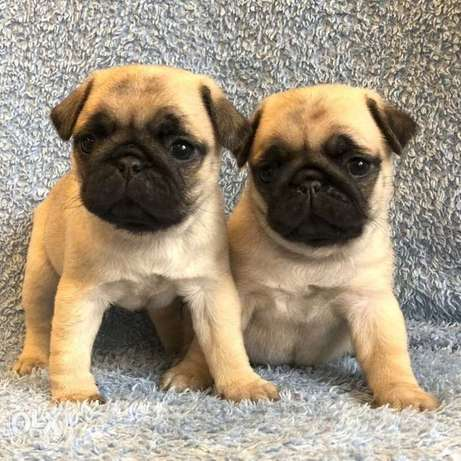 Pug puppies are offered for sale.