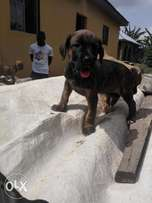 Solid Boerboel puppies available for sale.