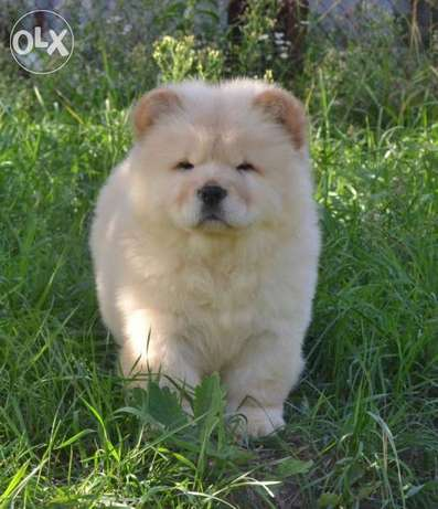 The best CHOW CHOW Imported From Ukraine with all doc Male 2 Months