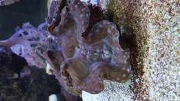 Giant clam for sale