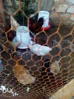Kienyeji chickens for sale, fully matured