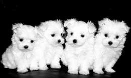 WANTED maltese puppy female