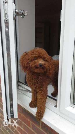 boy and girl toy poodle