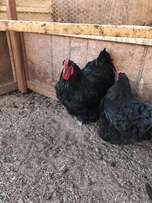 Point of laying Opington and other hens for sale