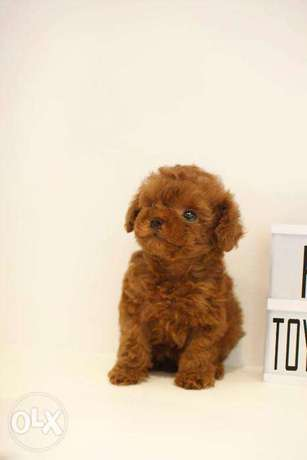 Adorable teacup Poodles available now