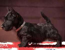 Amazing Schnauzer Imported From Ukraine with all documents