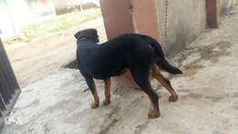 Pure breed Rottweilers