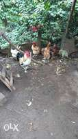 Poultry for sale