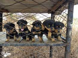 Rottweiler pups for sale both sex available