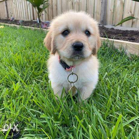 Louie -Golden puppy for sale