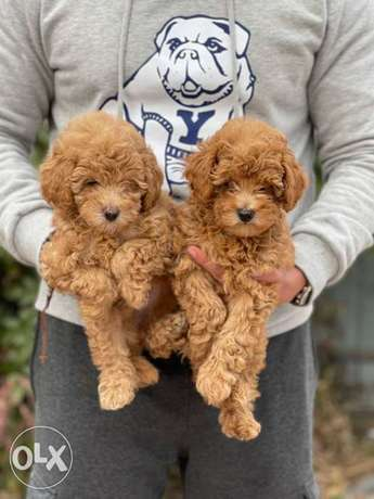 Imported Toy Poodle Females 2-7-2021 Full Documents Top Quality