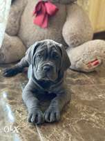 """Cane corso Puppies Ready for reservation """" Imported"""""""