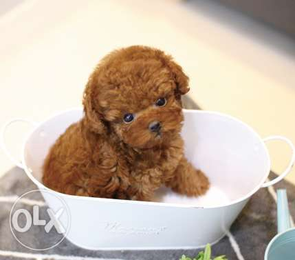 Potty train toy Poodle puppies available