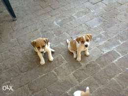 Jack Russells 8 weeks short leg white and tan pups