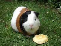 healthy golden and white cute Guinea pigs South 'C' - image 3