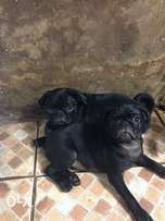 pug puppies are available for sale