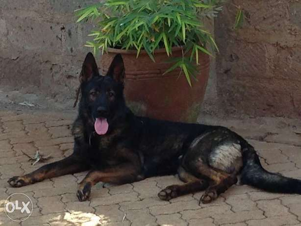 Extremely Rare Dark Sable\ Black German Shepherd pups.Parents imported Kasarani - image 1