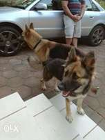 Two beautiful German Shepards for sale