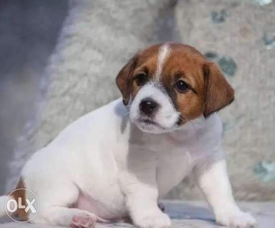 Imported Jack Russell Top Quality Best price Full documents