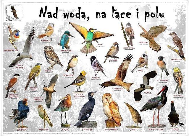 Ptaki W Polsce Plakaty Edukacyjne Szczecin Warszewo Olxpl
