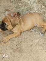 Puppy buarbell dogs for sale..