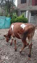 13months old ayrshire female calf