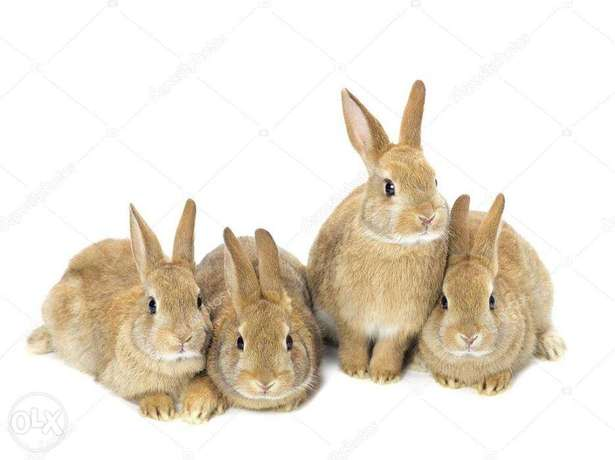 3 hybrid rabbits 4 months almost to be served Nairobi CBD - image 1