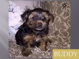 Pedigree Yorkshire Terrier for sale