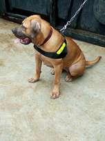 Female boerboal