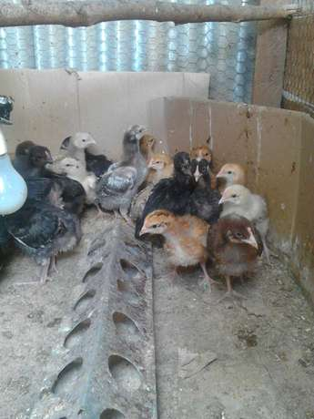 Kuroiler Chicks for Sale Ongata Rongai - image 3