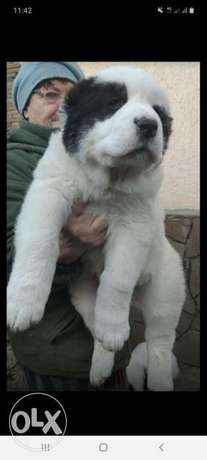 great alabi puppies fci