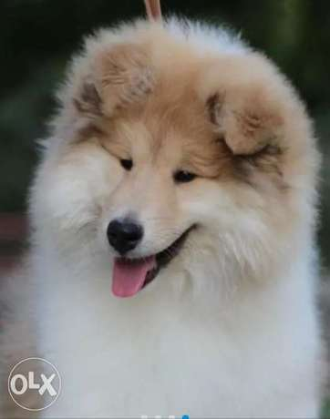 Imported Collie puppies from Ukraine