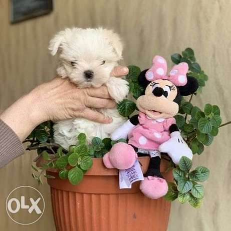 A very beautiful Maltese a doll's baby face