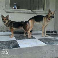 Male and female Gsd for sale